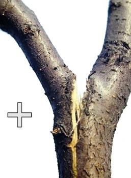 Разлом ветвей с острым углом отхождения, фото