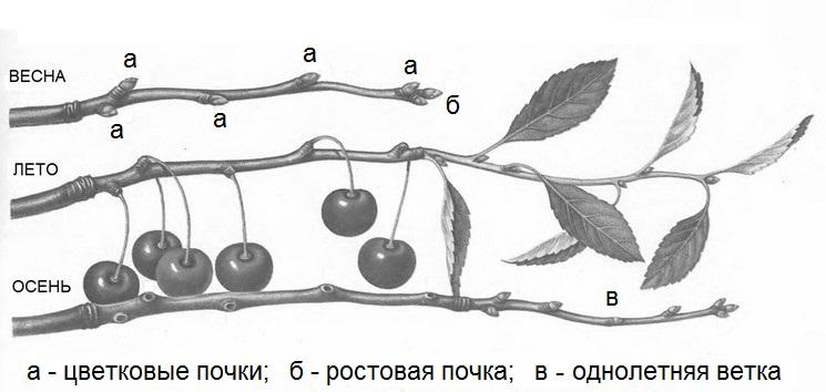 Иллюстрация оголения ветвей кустовидной вишни при малых приростах