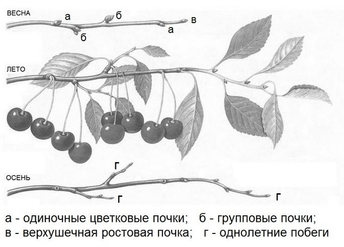 Иллюстрация плодоношения кустовидной вишни на больших приростах